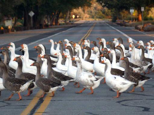 roadblock - geese crossing road