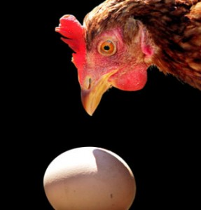 chicken standing over egg